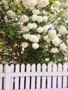 hydrangeas-in-bloom