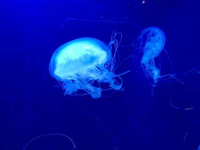 blue-jelly-fish